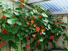 . Blumensamen: Kapuzinerkresse Jewel Mischung