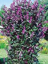 Blumensamen Kletterpflanze Hyacinth Bean (Dolichos lablab) Jahres