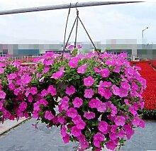 Blumensamen Pflanze hängen Petunie Samen Balkon