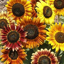 Blumensamen Pflanzensamen 1000Pcs/Bag