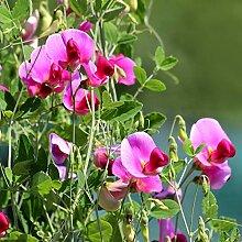 Blumensamen Pflanzensamen 20Pcs/Bag Süße
