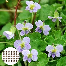Blumensamen Pflanzensamen 50Pcs/Bag Samen schnelle