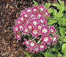 . Blumensamen: Phlox Stern Thinc Mischblumensamen