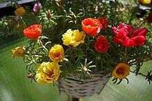 . Blumensamen: Portulak hängenden Korb