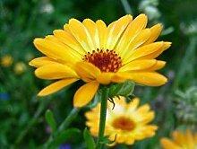 . Blumensamen: Pot Marigold Yellow Balkon Garten