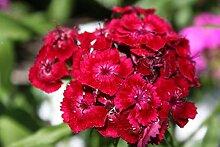 . Blumensamen: Ripple Garten Samen zu Pflanzen (20
