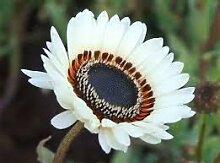 . Blumensamen: Venidium fastuosum Monarch Garten