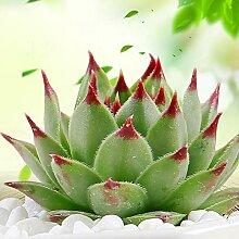Blumensamen100Pcs/Bag Graptopetabum Samen seltene