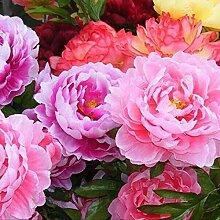 Blumensamen100Pcs/Bag Pfingstrose Samen