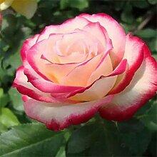 Blumensamen100Pcs/Tasche Rose Samen Duftende hohe