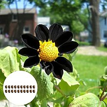 Blumensamen20Pcs/Bag schwarz Dahlien Samen seltene