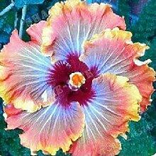 Blumensamen50Pcs/Bag Hibiskus Samen tropischen