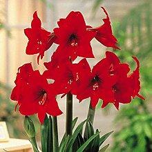 Blumenzwiebel Hippeastrum Amaryllis Rapido 24/26cm