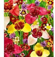 Blumenzwiebel-Mix 'Blüten-Feuerwerk'
