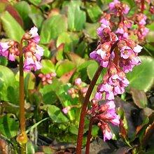 Blumixx Stauden Bergenia cordifolia - Bergenie rosa
