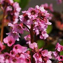 Blumixx Stauden Bergenia Hybride 'Rosi