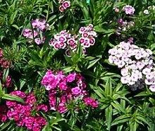 Bobby-Seeds Blumensamen 2-jährig Bartnelke Flora,
