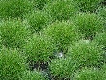 Bodendecker, 5x Bärenfellgras grün
