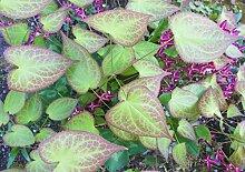 Bodendecker, 5x Elfenblume weiß