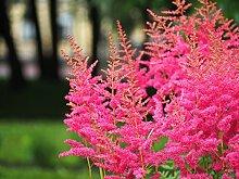Bodendecker, 5x Prachtspiere rosa