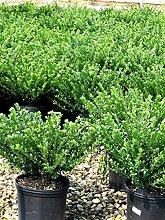 Bodendecker Buchbaum Ersatz - Ilex crenata Stokes