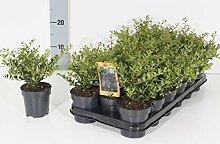Bodendecker Buchsbaum Ersatz - Ilex crenata Stokes