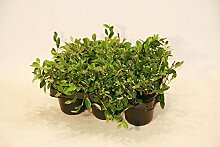 "Bodendecker Cotoneaster ""Radicans"" 250 St."