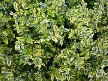 """Bodendecker Euonymus fortunei """"Emerald Gold"""" / Spindeltrauch 24 Stück/9cm"""