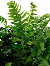 Bodendecker Gewöhnlicher Tüpfelfarn - Polypodium vulgare - verschiedene Größen (Topf 5Ltr.)