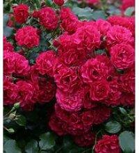 Bodendecker-Rose 'Gärtnerfreude®'