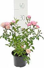Bodendecker Rosen - Rosa The Fairy - Höhe 20-30
