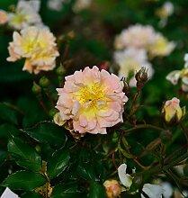 Bodendeckerrose Apricot Meidiland 20-30cm