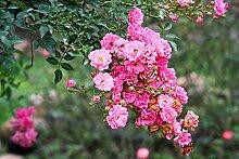 Bodendeckerrose Beetrose - The Fairy -