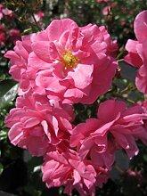 Bodendeckerrose Mirato® - Rosa Mirato® - pink -