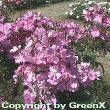Bodendeckerrose Phlox Meidiland 20-30cm