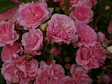 Bodendeckerrose Pink Swany® syn. Les Quattre