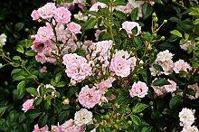 Bodendeckerrose Rosa The Fairy, Wurzelware