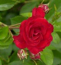 Bodendeckerrose Scarlet Meidiland 20-30cm