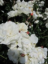 Bodendeckerrose Sea Foam® - Rosa Sea Foam® -