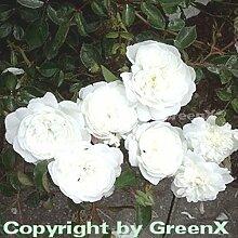 Bodendeckerrose Snow Ballet® 20-30cm