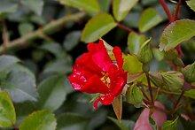 Bodendeckerrose Sommerabend® - Rosa Sommerabend®