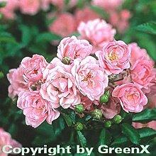 Bodendeckerrose The Fairy 15-20cm
