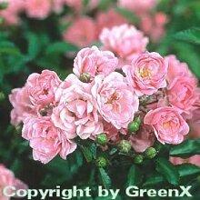 Bodendeckerrose The Fairy 20-30cm