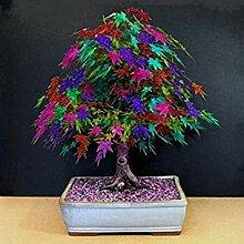 Bonsai 30 PC/Beutel von Bonsai amerikanischen