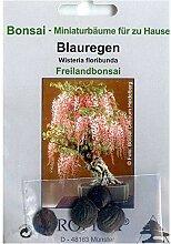 Bonsai - 4 Samen von Wisteria floribunda,