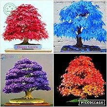 Bonsai-Ahornbaum-Samen Bonsai-Baum-Samen. selten