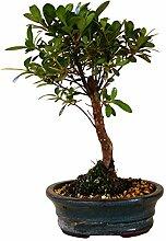 Bonsai Azalee, Rhododendron, ca. 8 Jahre, ca. 30