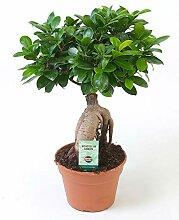 Bonsai Baum Ficus Ginseng Höhe 40-45 cm Topf-Ø