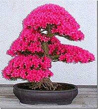Bonsai-Baum japanischen Sakura-Samen 10pcs, Bonsai