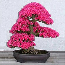 Bonsai-Baum japanischen Sakura-Samen, Bonsai-Blume